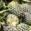 สับปะรด (Pineapple)